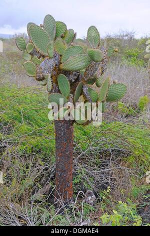Prickly pear cactus opuntia echios puerto egas bay for Cactus santiago