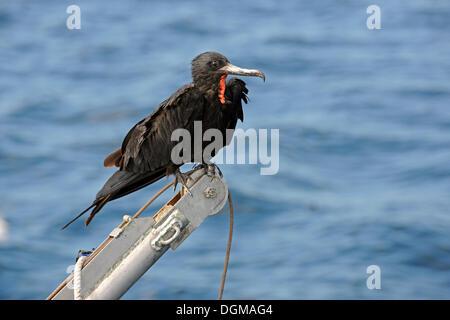 Magnificent Frigatebird (Fregata magnificens) perched on a boat crane, Santa Cruz Island, Galapagos Archipelago, - Stock Photo