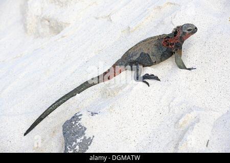 Marine Iguana (Amblyrhynchus cristatus), subspecies of Espanola Island, Galapagos Island, UNESCO World Natural Heritage - Stock Photo