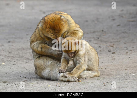 Barbary Macaques (Macaca sylvanus), during mutual delousing, North Africa - Stock Photo