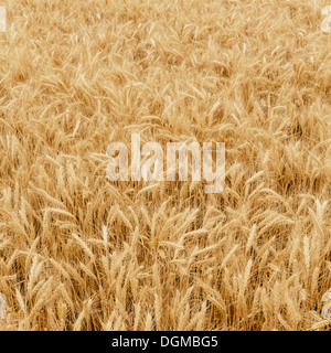 A field of ripening wheat growing, near Pullman in Whitman County. - Stock Photo