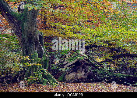 Approx. 800 year old Beech (Fagus) in autumn, Urwald Sababurg primeval forest nature reserve, primeval forest Sababurg, - Stock Photo