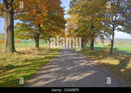 Idyllic road in autumn with old Oaks (Quercus), primeval forest Sababurg, Hesse, Germany - Stock Photo