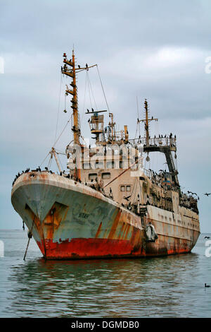 An old wreck beleaguered with cormorants off the coast, Walvis Bay, Namibia, Africa - Stock Photo