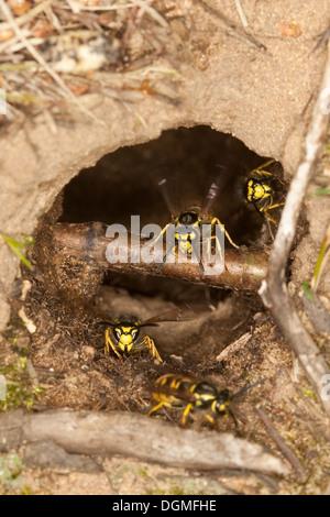German wasp, European wasp, vespiary, Deutsche Wespe, Vespula germanica, Vespa germanica, Paravespula germanica, - Stock Photo