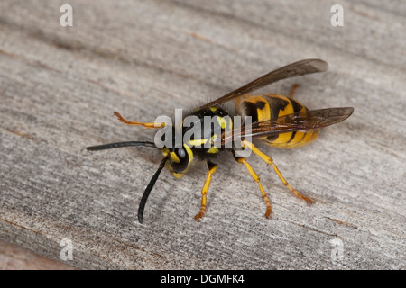 German wasp, European wasp, Deutsche Wespe, Vespula germanica, Vespa germanica, Paravespula germanica - Stock Photo