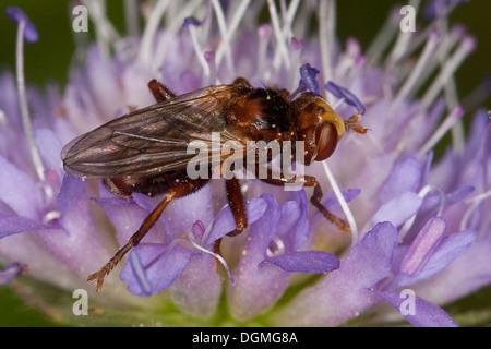Thick-headed fly, Conopid, Sicus ferrugineus, Dickkopffliege, Dickkopf-Fliege, Blasenkopffliege, Breitstirnblasenkopffliege - Stock Photo
