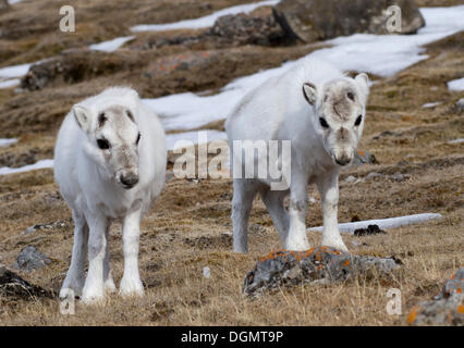 Two young Svalbard Reindeer (Rangifer tarandus platyrhynchus) in their winter coat, Gipsvika, Isfjorden, Spitsbergen, - Stock Photo