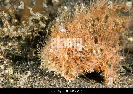 Hairy or striated frogfish - Antennarius striatus, Lembeh Strait, Indonesia - Stock Photo