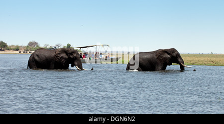 Africa elephant - Two african elephants swimming across the Chobe river watched by a tourist safari boat, Chobe - Stock Photo