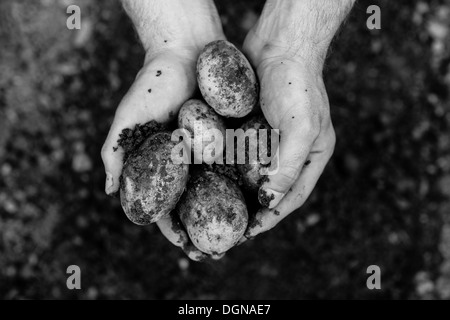 Hands showing freshly dug potatoes - Stock Photo