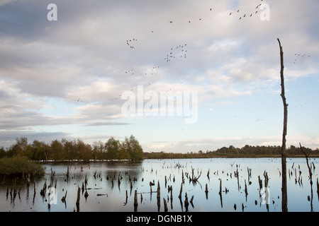View on a lake with flying geese and dead tree trunks caused by raised water level at landscape 'Mariapeel' in the - Stock Photo