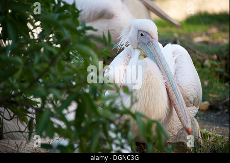 Elegant Great White Pelican at London Zoo. - Stock Photo