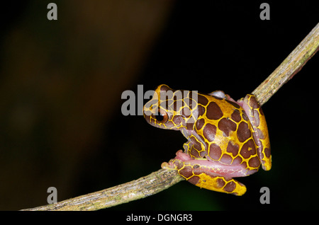 A 'giraffe phase' Clown Treefrog (Dendropsophus leucophyllatus) perched on a twig in the Amazonian rainforest in - Stock Photo