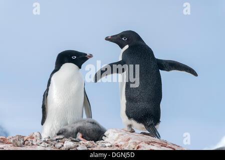 Adélie Penguins (Pygoscelis adeliae) with a sleeping chick, Petermann Island, Antarctic Peninsula, Antarctica - Stock Photo