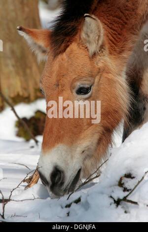 Przewalski's horse or Dzungarian Horse (Equus przewalskii), old wild horse race, grazing in the snow, portrait - Stock Photo