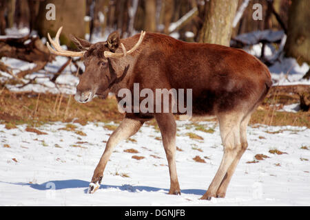 Young male moose (Alces alces) on a snowy forest meadow, Tierpark Weilburg zoo, Hesse - Stock Photo