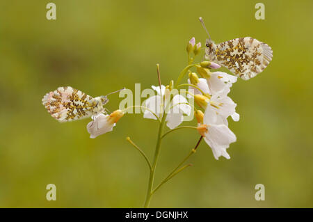 Orange Tip (Anthocharis cardamines), male and female perched on Cuckoo flower blossoms (Cardamine pratensis) - Stock Photo
