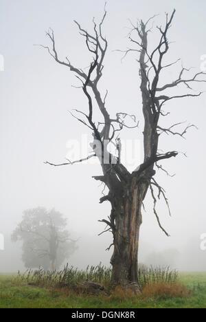 Solitary oak in the morning mist, Middle Elbe Biosphere Reserve near Dessau, Saxony-Anhalt - Stock Photo