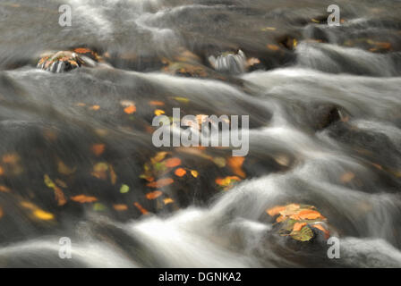 Autumn leaves in the Selke River, Harz Mountains, Saxony-Anhalt - Stock Photo