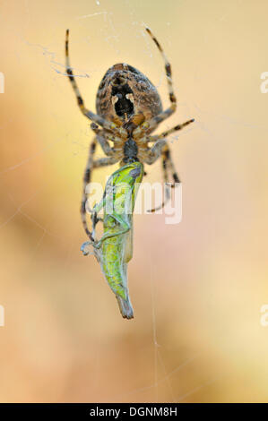 Small Gold Grasshopper (Euthystira brachyptera) being wrapped by a spider in its web, Lower Lusatian Heath Nature - Stock Photo