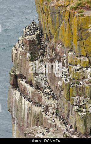 Guillemots (Uria sp.) on their rocky breeding colony, Handa Island, Scotland, United Kingdom - Stock Photo