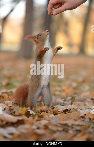 Squirrel (Sciurus vulgaris) standing on its hind legs, stretching upward, being fed by hand, in an urban park in - Stock Photo