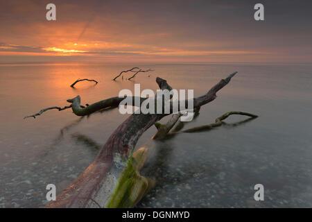 Broken tree stump in the water, sunrise on the Baltic Sea coast, Dranske, Mecklenburg-Western Pomerania, Germany - Stock Photo