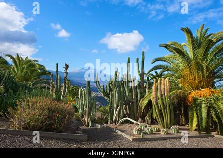 Cactus garden in El Sauzal with a view towards Mount Teide, Tenerife, Canary Islands, Spain, Europe - Stock Photo