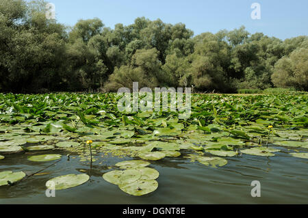 Yellow water-lilies (Nuphar lutea, Nuphar luteum), Danube Delta, Romania, Europe