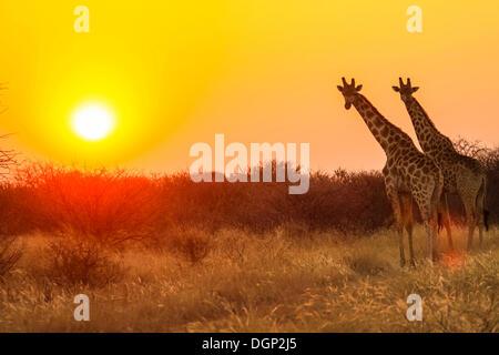 Giraffe (Giraffa camelopardalis) walking on plain in front