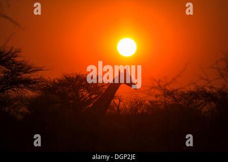 Giraffe (Giraffa camelopardalis) in front of sunset, Namibia, Africa - Stock Photo