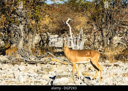 Black-faced Impala (Aepyceros melampus petersi), with broken horn, Etosha National Park, Namibia, Africa - Stock Photo