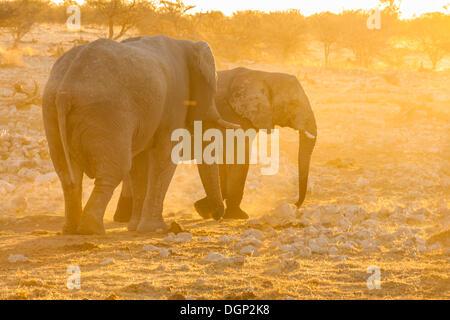 African elephants (Loxodonta africana) at sunset, Etosha National Park, Nambia, Africa - Stock Photo