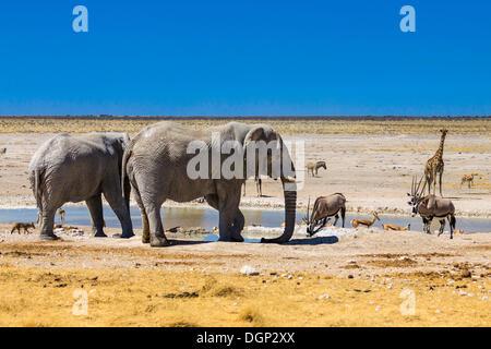 African elephants (Loxodonta africana), Gemsboks (Oryx gazella), a giraffe (Giraffa camelopardalis) and springboks - Stock Photo