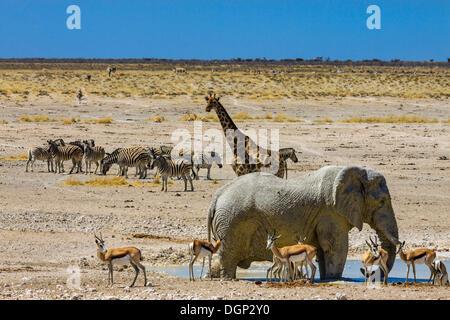 African elephant (Loxodonta africana), giraffe (Giraffa camelopardalis), springboks (Antidorcas marsupialis) and - Stock Photo