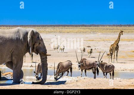 African elephant (Loxodonta africana), gemsboks or gemsbucks (Oryx gazella), giraffe (Giraffa camelopardalis) and - Stock Photo