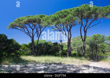 Pines on Palombaggia Beach, Corsica, France, Europe - Stock Photo