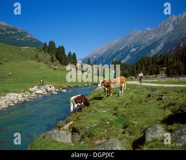 Cows on an alpine pasture, Hintereggalm, Krimmler Ache, Krimmler Achental, Pinzgau, Nationalpark Hohe Tauern, Salzburg - Stock Photo