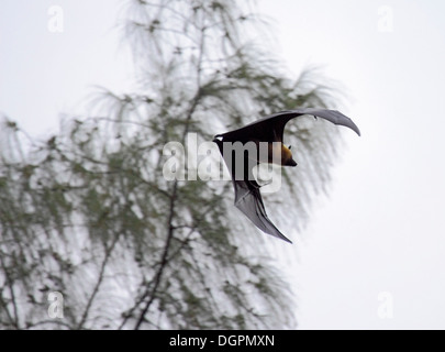 Seychelles fruit bat or Flying fox in flight - Stock Photo