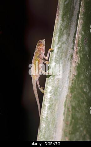 Seychelles tiger chameleon climbing tree on Praslin Island - Stock Photo