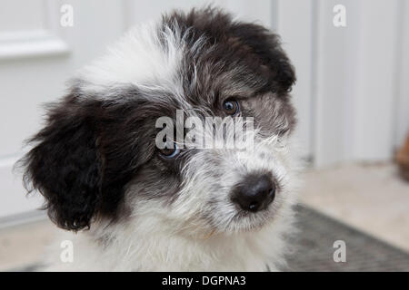 Mixed-breed Dog (Canis lupus familiaris), portrait - Stock Photo