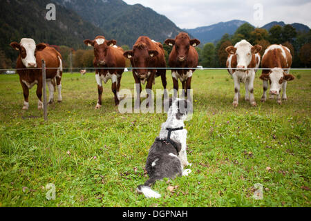 Dog (Canis lupus familiaris) sitting in front of a herd of cows, Lofer, Salzburger Land, Austria, Europe - Stock Photo
