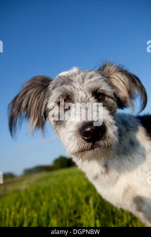 Briard mixed-breed dog on a meadow against a blue sky, portrait - Stock Photo