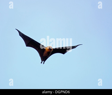 Seychelles fruit bat or Flying fox on the wing - Stock Photo