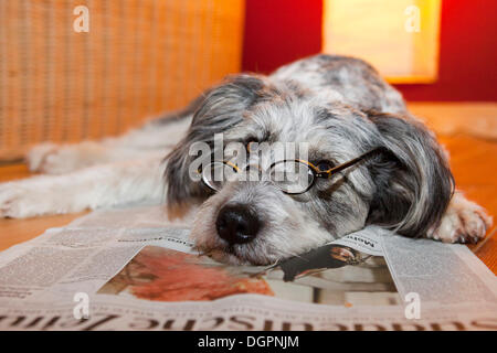 Dog lying on a newspaper wearing glasses - Stock Photo
