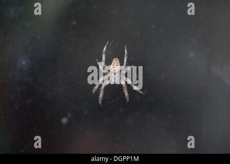 European Garden Spider or Cross Orbweaver(Araneus diadematus) in its web, Brandenburg - Stock Photo