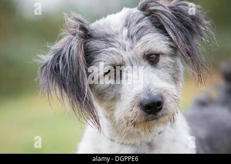 Briard mongrel, dog, portrait, Brandenburg - Stock Photo