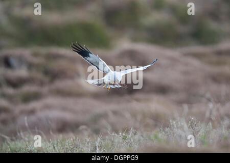 Hen harrier in flight (Circus cyaneus), male, Texel, Netherlands, Europe - Stock Photo