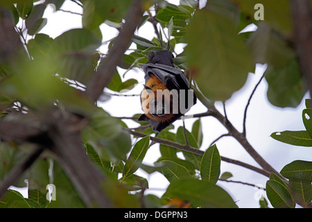 Seychelles fruit bat or Flying fox hanging down from branch - Stock Photo
